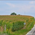 Indiana Corn Fields in August