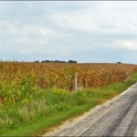 Indiana Corn Fields in September