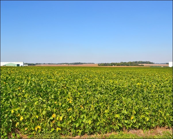 soybean field Sept 26 2013