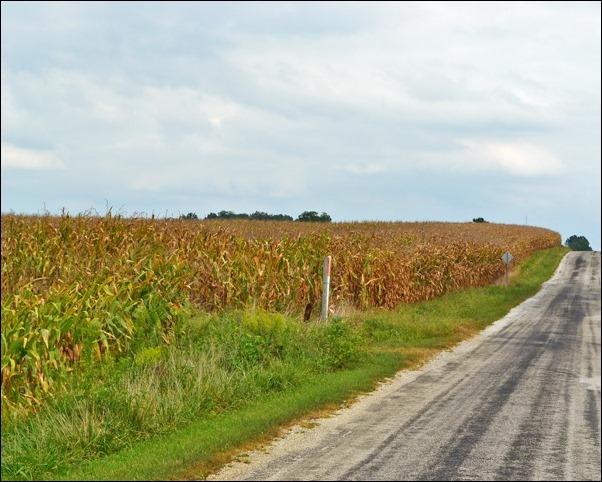corn field 091613