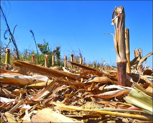 harvested corn stalks