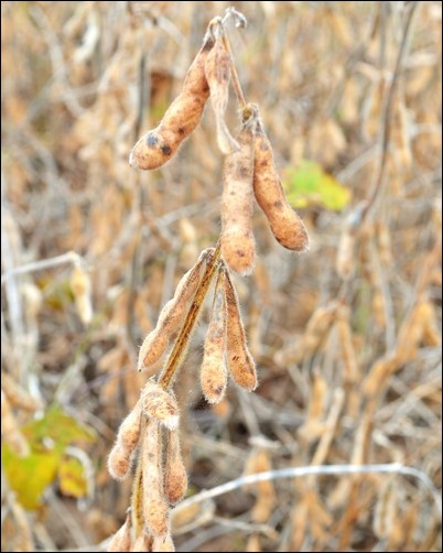 soybean pods Oct 15 2013