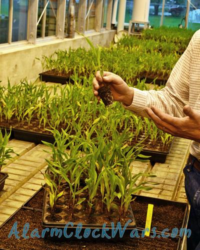 Beck's Hybrids greenhouse