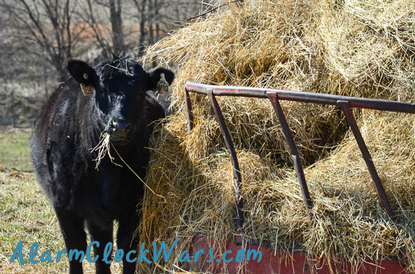 beef cattle heifer at the hay ring