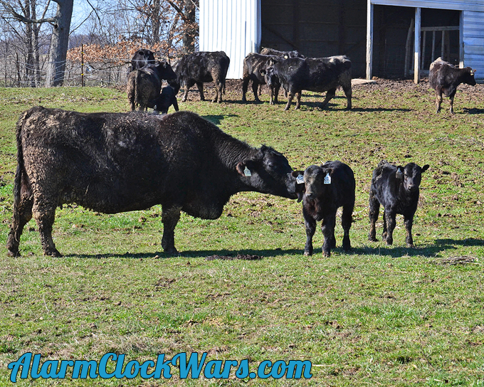 beef cows and calves live together until the calves are weaned