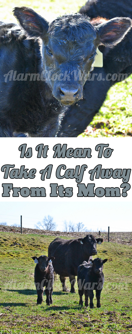 In every cow's life, it's eventually time to take a calf away from its mom. It's part of farming, and part of raising animals. Is it mean? I don't think so.