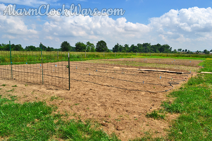 Sweet corn is planted in the back of our large garden plot.