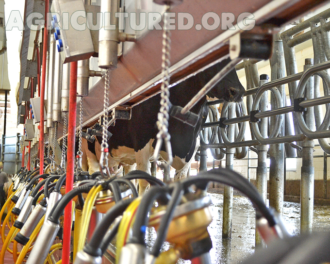 Milking cows is an every day job. Cows walk down the aisle until they reach the next empty spot.