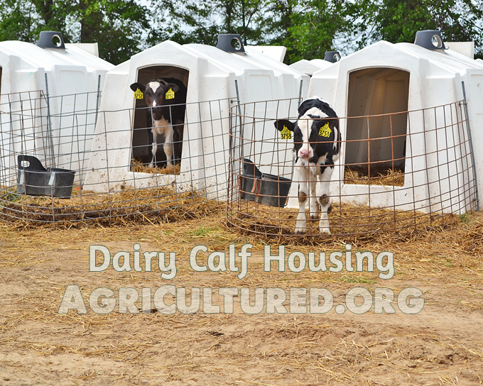 Dairy calf housing. Dairy calves live in individual or group calf hutches for their first few months. This lets the farmers watch them closely to be sure they are healthy.
