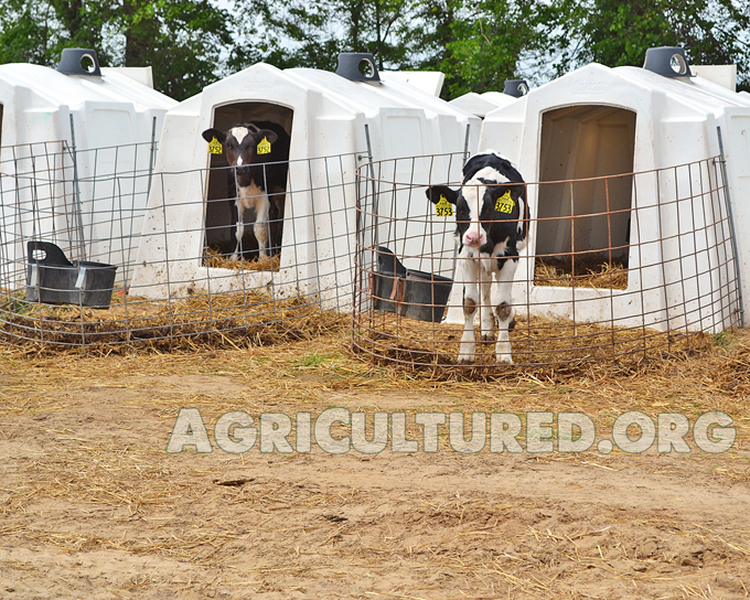 Dairy calf housing. Dairy calves in hutches.