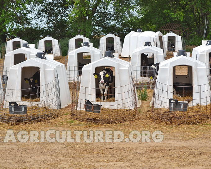 Dairy calf housing. Dairy calves saying hi!