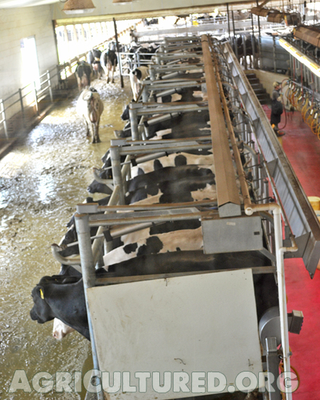 Milking cows is an every day job. Cows walk into the milking parlor single file and wait their turn.
