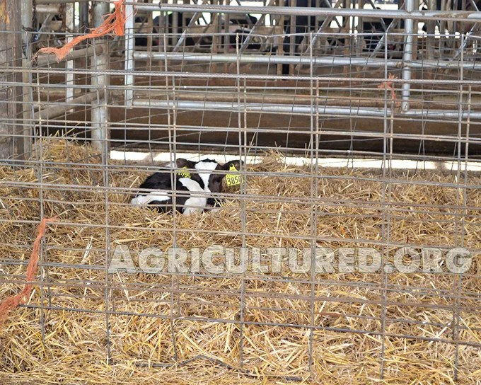 Dairy calf housing. Newborn calves stay in a straw pen for their first few hours.
