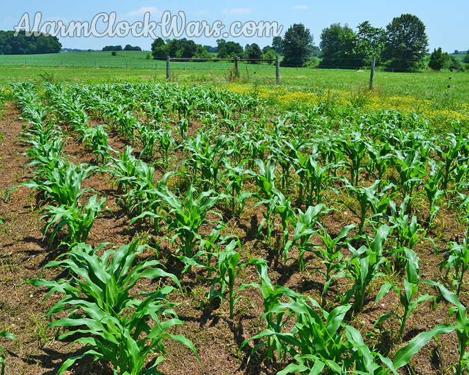 Spraying glyphosate on Round Up-ready corn means we can control the weeds early.