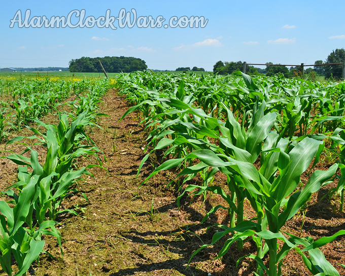 Different plant heights in two different plantings of sweet corn.