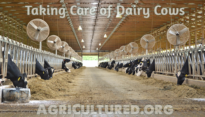 Taking care of dairy cows. It takes a lot of work to take care of dairy cows. Each dairy cow can eat 100 pounds of food and drink 50 gallons of water a day.
