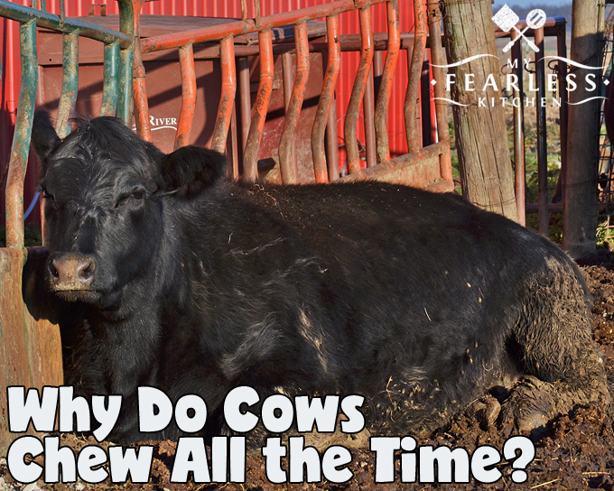 Why Do Cows Chew All the Time? from My Fearless Kitchen. Cows spend their days doing three things, eating, sleeping, and chewing. Why do cows chew all the time? It's all about nutrition!