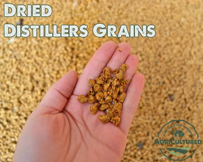 Dried distillers grains are a by-product of making ethanol from corn. They are fed to dairy cattle as a protein source.