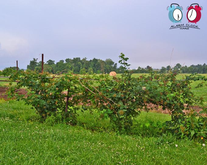 Our blackberry bushes grow lots of huge, juicy berries every summer.
