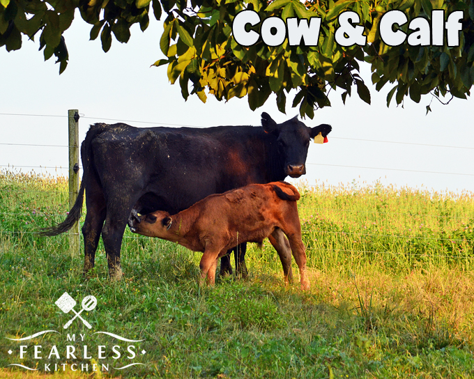 What Do You Call The Boy Cows? - My Fearless Kitchen