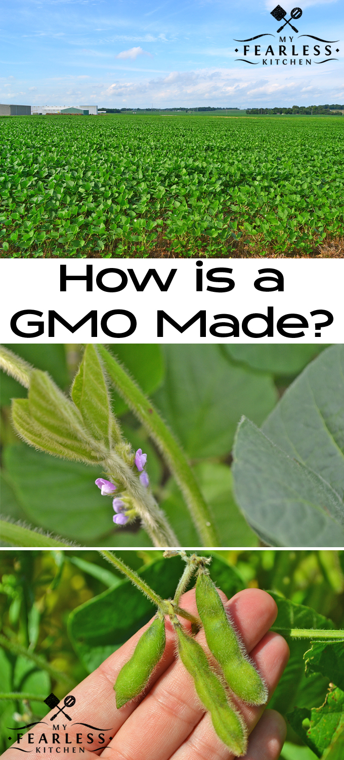 How is a GMO Made? from My Fearless Kitchen. Have you ever wondered how a GMO is made? Part of it is done in a lab, but much of the process is similar to traditional breeding.