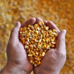 Why Don't Farmers Save Seeds?