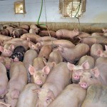 Why Do Farmers Keep Pigs Inside?