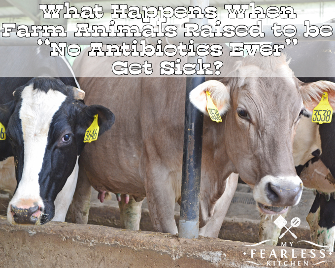 """What Happens When Farm Animals Raised to be """"No Antibiotics Ever"""" Get Sick? from My Fearless Kitchen. Do you look for USDA Certified Organic or """"raised without antibiotics"""" labels at the grocery store? Do you know what happens if an organic animal gets sick?"""