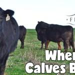 When Are Calves Born?