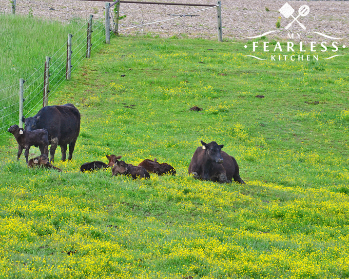 beef calves laying in a green pasture