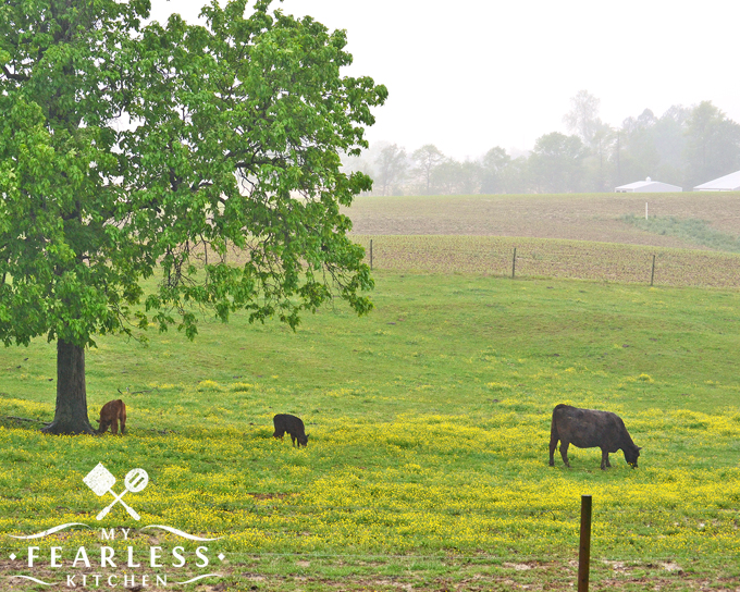 beef calves under a tree in the rain