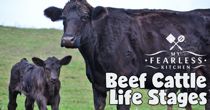Beef Cattle Life Stages - My Fearless Kitchen