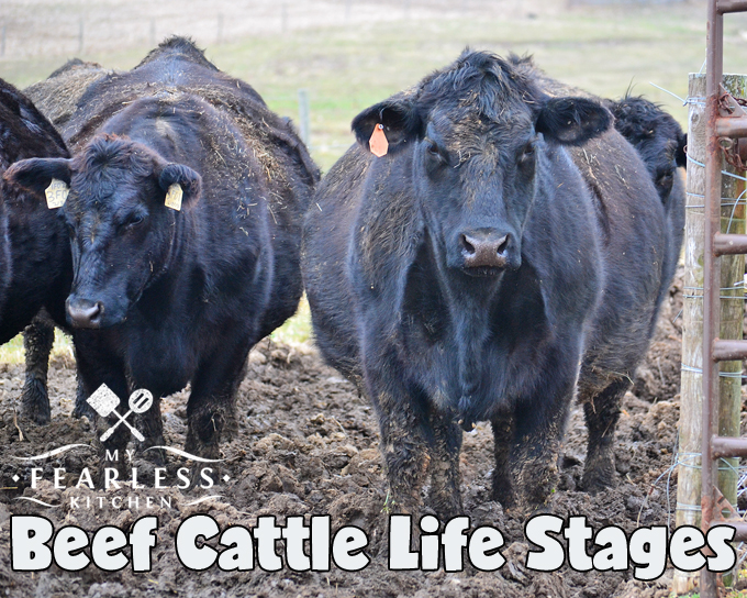Beef Cattle Life Stages from My Fearless Kitchen. There are two main goals of having beef cattle - to have new calves each year, and to raise cattle for meat. Let's talk about the life stages of beef cattle.