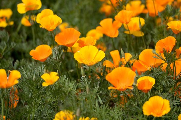 California Poppy Plant Tea - Garden Design Ideas
