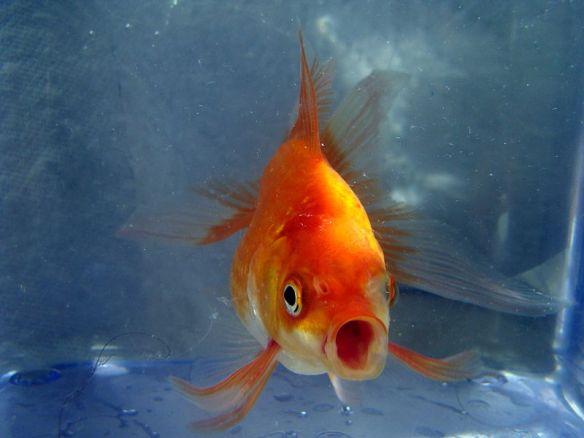 goldfish httpscommons.wikimedia.orgwikiFileButterfly_Goldfish_02.JPG