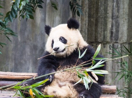 This stick is alright at Chengdu Research Base of Giant Panda Breeding.
