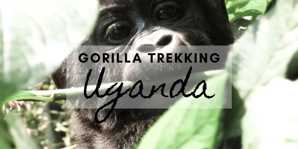 Gorilla trekking Uganda - 3 Days Safari