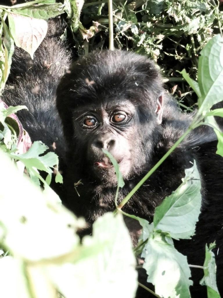 3 days gorilla trekking safari uganda