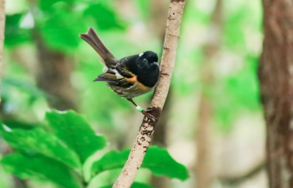 Hihi or stitchbird - these birds are endangered and were released on Tiritiri Matangi in order to support their repopulation.