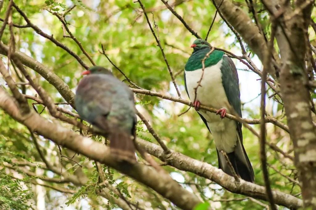 Kereru - New Zealand native wood pigeon