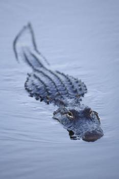 alligator lesson plans