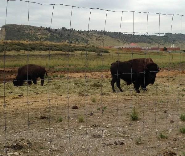 bison-visit