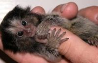 How Much are Finger Monkeys