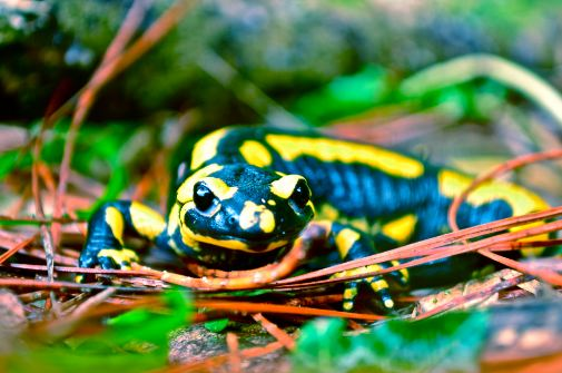 How to Care for a Spotted Salamander