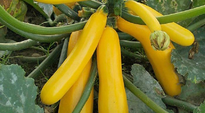 Squash Golden Yellow - (10 - 12 seeds) MGS1059