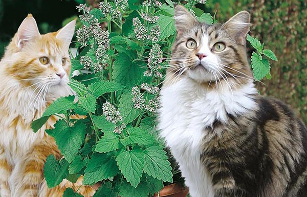 Catnip - Nepeta Cataria - Mr Fothergill's - 250 Seeds