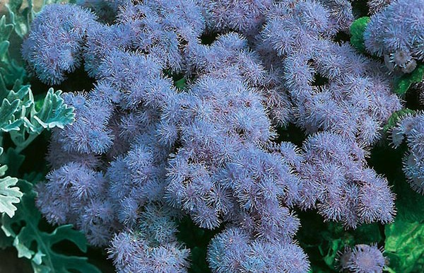 Ageratum Mexicanum - (120 to 130 seeds) - MGS1269