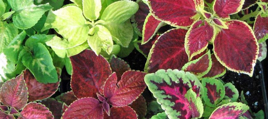 Coleus Blumei - Mixed Color – (60 to 80 seeds) - MGS1285