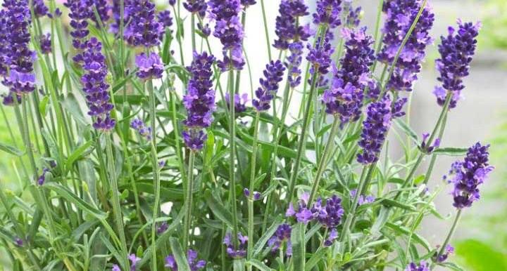 Lavender – Seeds - Indian - Apex