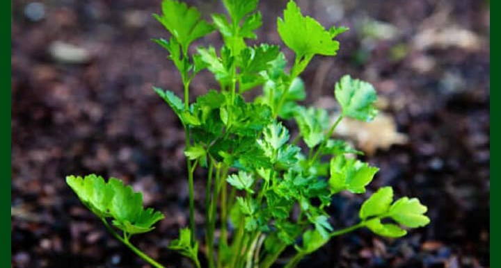 Parsley F1 Hybrid - পার্সলে – 3500 to 4500 Seeds - Commercial Pack